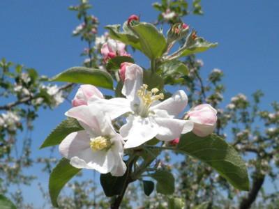 りんご ふじ 花