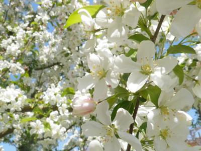 姫リンゴの花