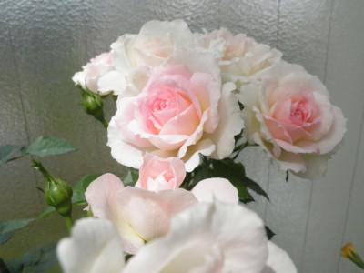 チュチュオプティマ開花