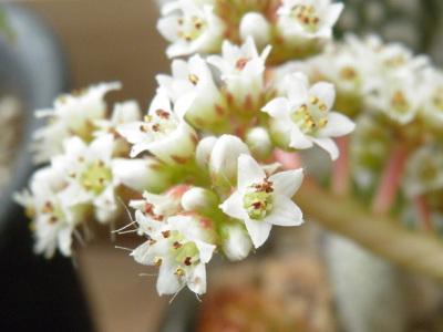 もみじ祭の花。ネジバナのように長い花柄にらせん状に細かい花がつく。