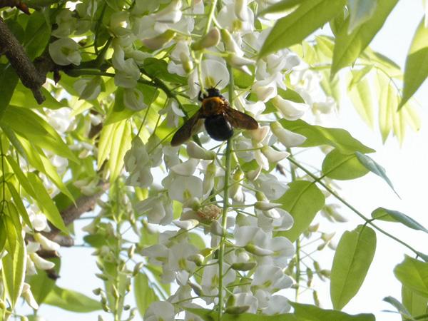 藤とクマンバチ