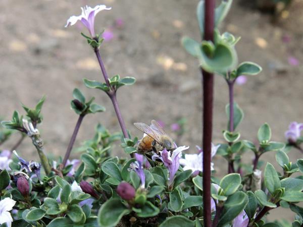 ハクチョウゲとミツバチ