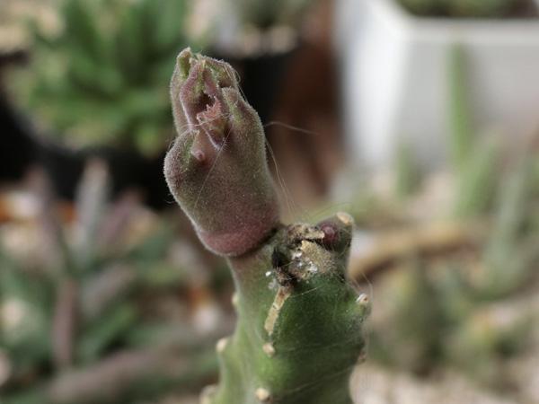 ガガイモ スタペリア属 大花犀角