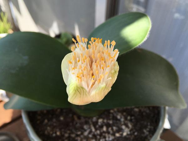 マユハケオモト開花