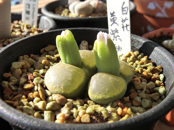 リトープス 白花黄紫勲 花芽